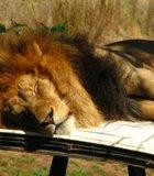 Lion caught sleeping