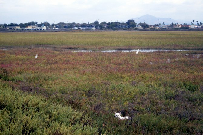 A white cat stalking two egrets at Tijuana Slough Refuge in Imperial Beach.