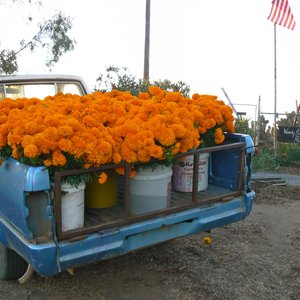 A Truckload of Sunshine: Marigold harvest for The Day of The Dead, on a farm near Bonsall and Fallbrook, CA