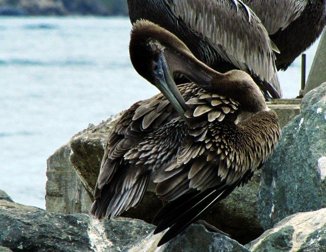 Pelican preening at Shelter Island.