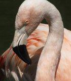 Jealous Flamingo at The Wild Animal Park