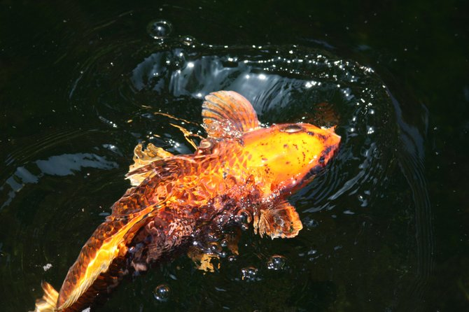A Koi fish at the Self-Realization Meditation Gardens.