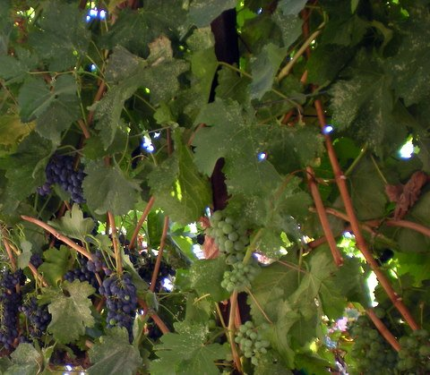 Temecula:  Grapes in July.