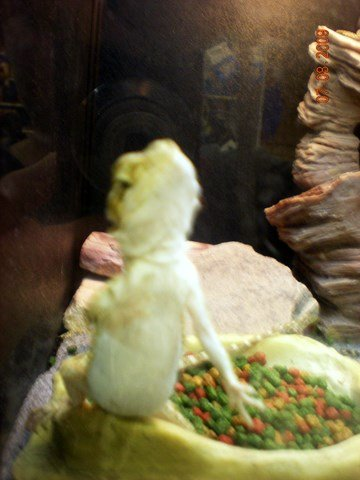 Bearded Dragon or Gecko - Steppin' Out at Tierrasanta Petsmart