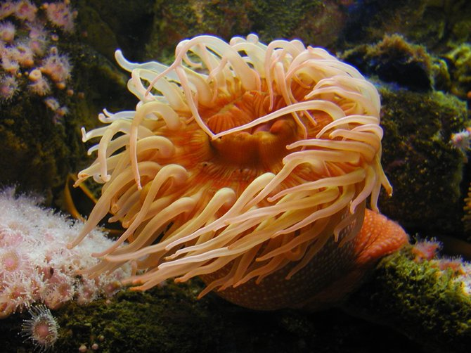 A Perennial Herb: Really Cool, Big, Fat, Orange and White Spotted Sea Anemone, Monterey Bay Aquarium, Monterey, CA