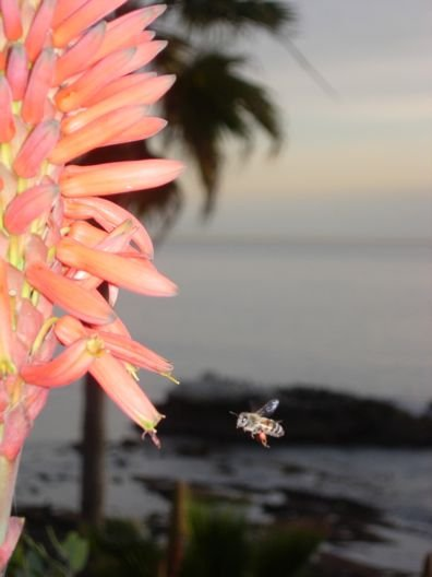 A small park in Dana Point along Hwy 1 with a bee buzzing near an aloe plant on the coast.