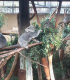 Koalas snacking on some eucalyptus leaves at the Zoo.