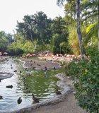 The flamingo lagoon at the San Diego Zoo