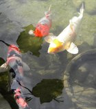 A day at the Barona Casino. I make it a point to walk the grounds at Barona. Three koi stop by for a picture. Life ...