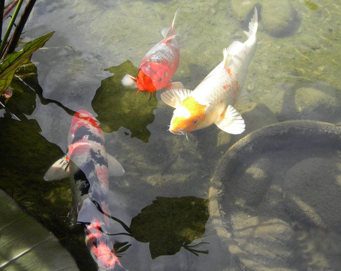 A day at the Barona Casino. I make it a point to walk the grounds at Barona. Three koi stop by for a picture. Life full of color.