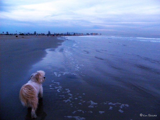 Our dog Cookie taking a sunset stroll at Coronado Dog Beach