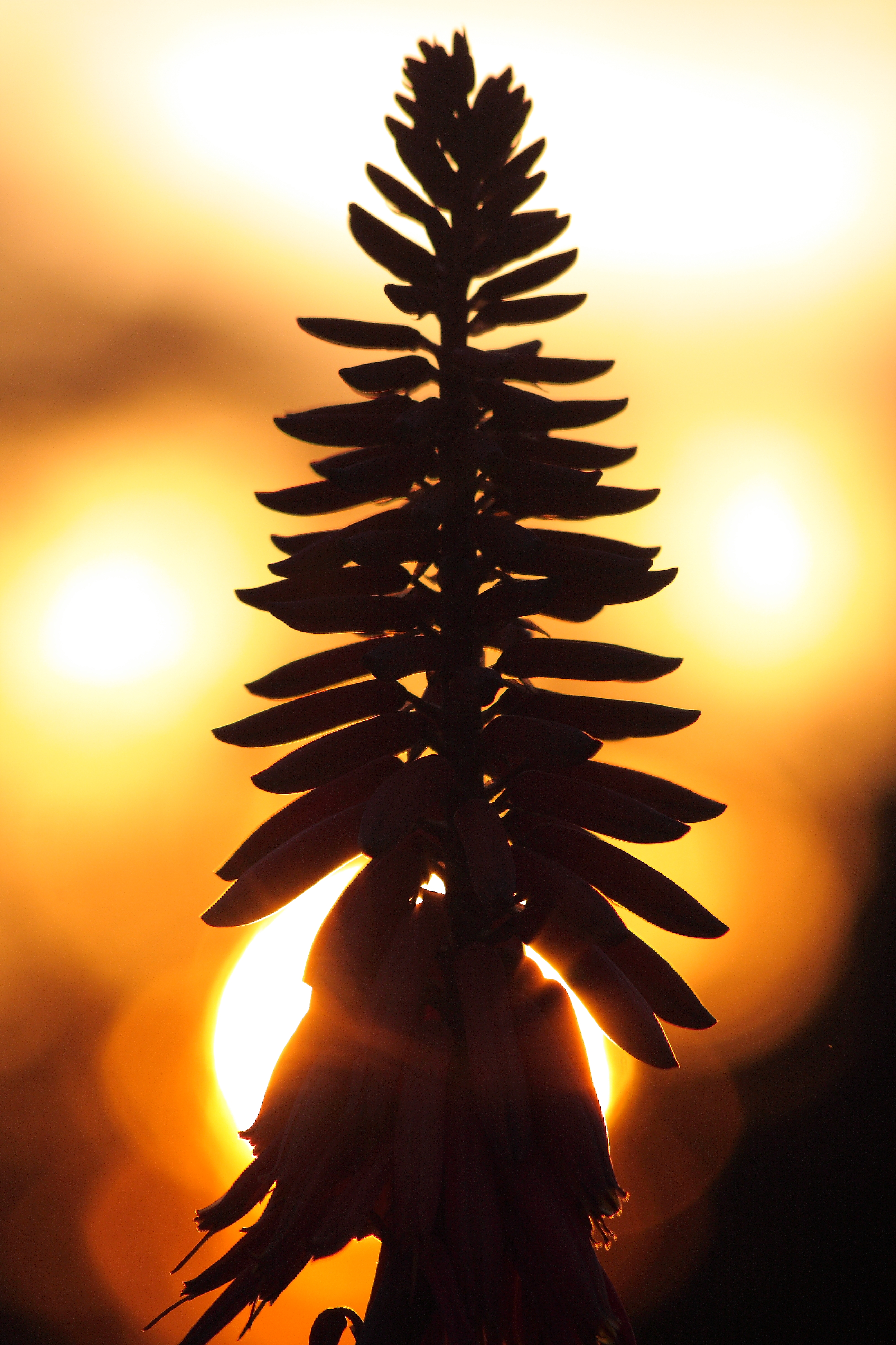 """Aloe Sunset"" -- an aloe bloom in the sunset."