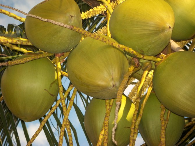 A grouping of young coconuts bunched together on a tree in Jamaica.