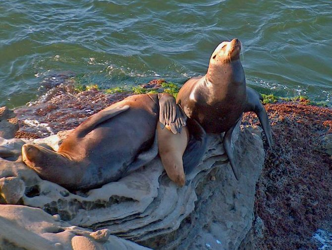 A family of sea lions basks in the sun at La Jolla Cove.  Notice how the mom (?) holds onto the pup with her hind flippers.