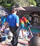 A handler brings 4 macaws down the steps during the Sea Lion Zoo at the zoo.