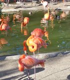 Flamingo lagoon at the zoo