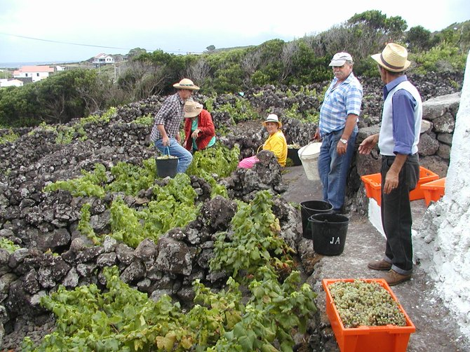 Black lava rock walls keep the grapevines warm and sheltered from wind: Island of Pico, Azores.