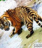 Tiger at the Wild Animal Park.