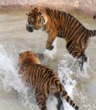 This was taken at Wild Animal Park. One of the tigers dragged a log into the water. The other was watching quietly and suddenly jumped ...