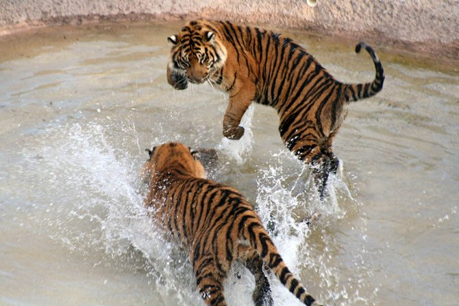 This was taken at Wild Animal Park. One of the tigers dragged a log into the water. The other was watching quietly and suddenly jumped into the water and started trying to take the log away. They played for about an hour.