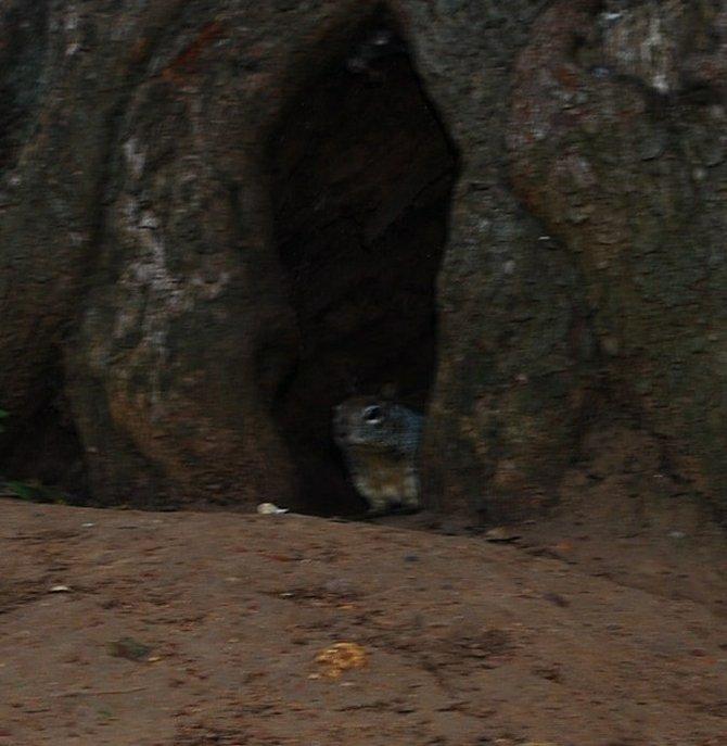Balboa Park squirrel.