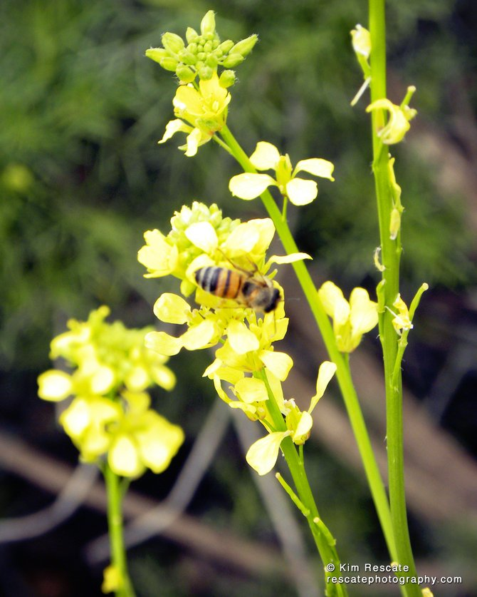 Bee photographed in one of the nature trails in Balboa Park near Morley Field.
