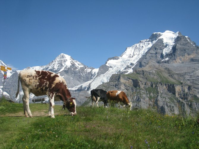 Cows grazing in Gimmelwald.