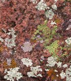 After several weeks of rain in the early months of 2010, the rocks near the amphitheater at Mt. Helix were covered with multicolored lichen. The ...