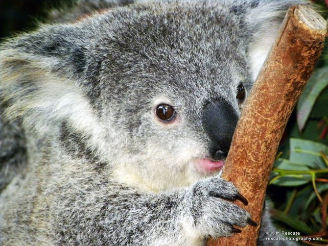 Baby koala at San Diego Zoo.