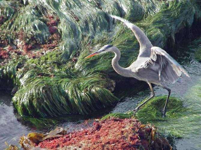 A great blue heron walks among the tide pools at La Jolla Cove looking for something to eat.