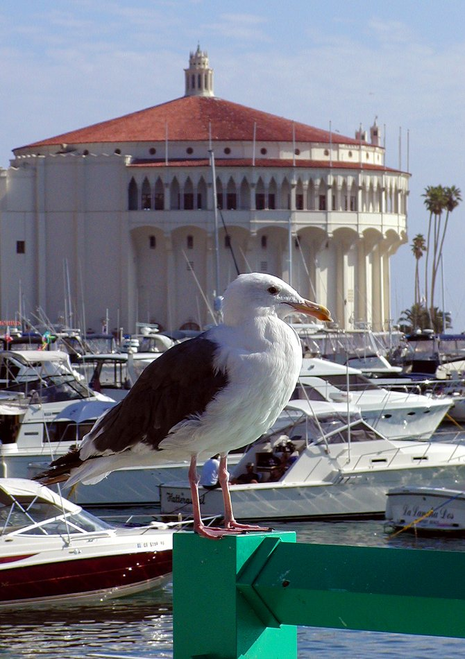 The Avalon Casino and harbor boats serve as backdrop for this seagull on a perfect sunny day.