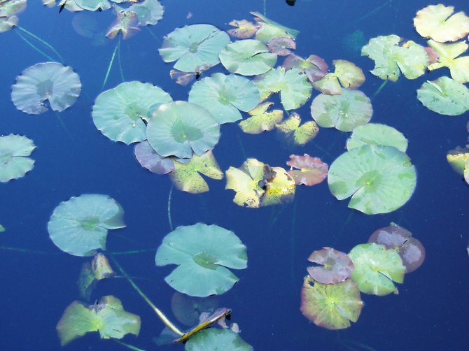 Water lilies at Paradise Point Spa and Resort.