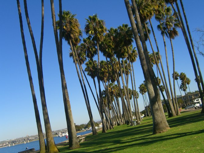 Palm grove on Mission Bay