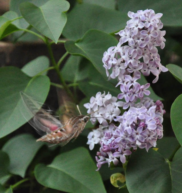 Hummingbird moths swarmed a mountain lilac bush at Lake Morena.