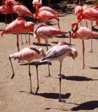 This flamboyance of flamingos at the San Diego Zoo appears to be engaged in line dancing.