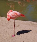A lone flamingo at the San Diego Zoo.