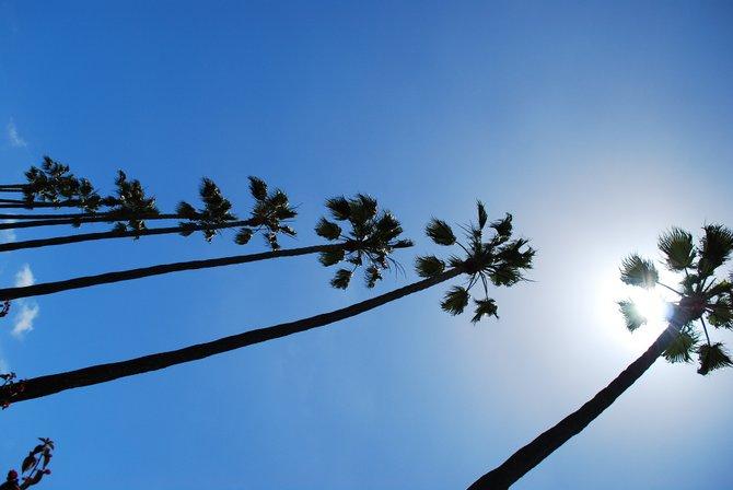 La Jolla Shores Palm Trees