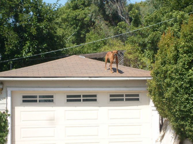 This dog seems to enjoy hanging out on top of the garage roof.