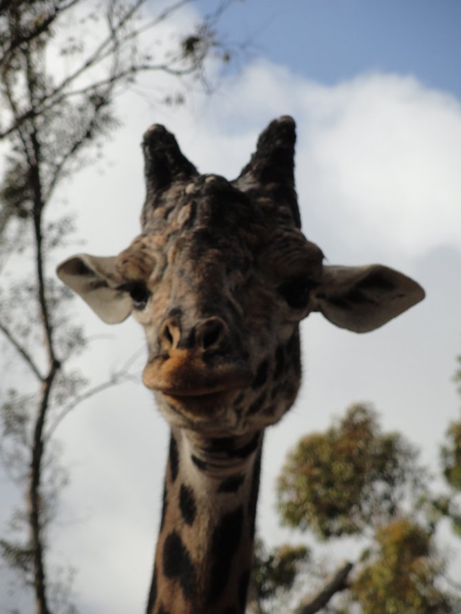 A gorgeous giraffe coming closer to say hi!