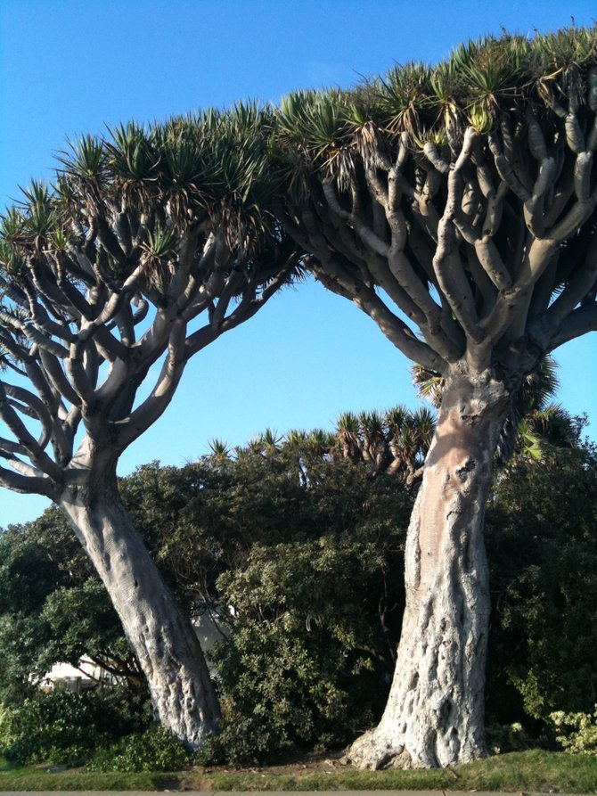 Twin Trees, La Jolla, CA
