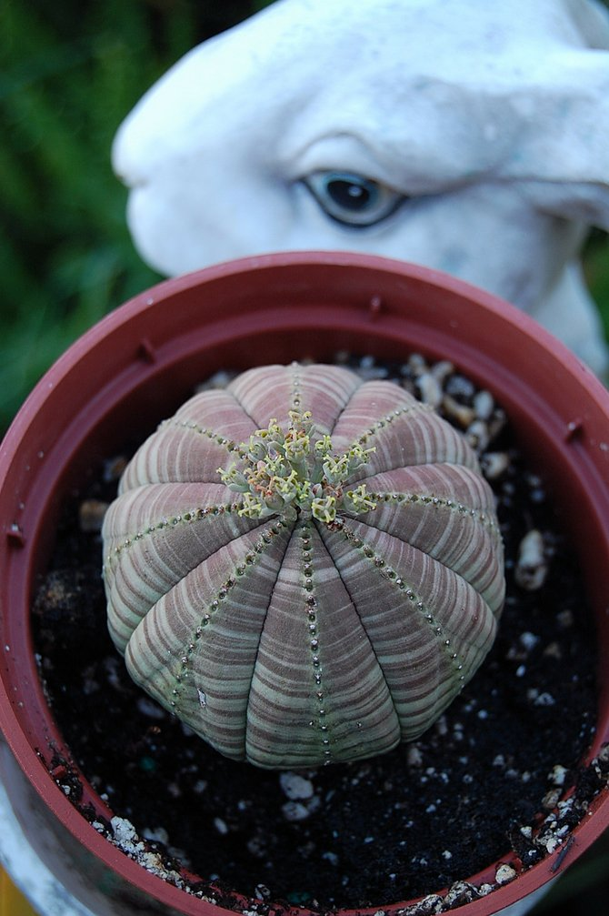 Euphorbia obesis and stone bunny in succulent garden in Escondido.