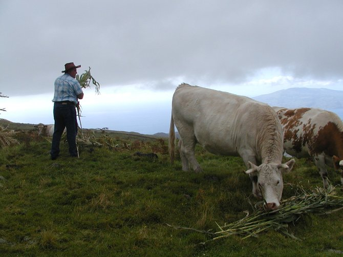 Tending cattle on top of the volcano of Pico, Pico Island, Azores