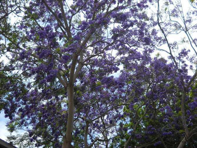Beautiful blooming Jacaranda along Canon Street, Point Loma.