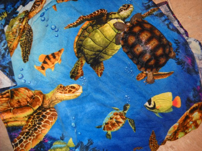 Samantha the desert tortoise is wondering who that handsome sea turtle is on the towel?