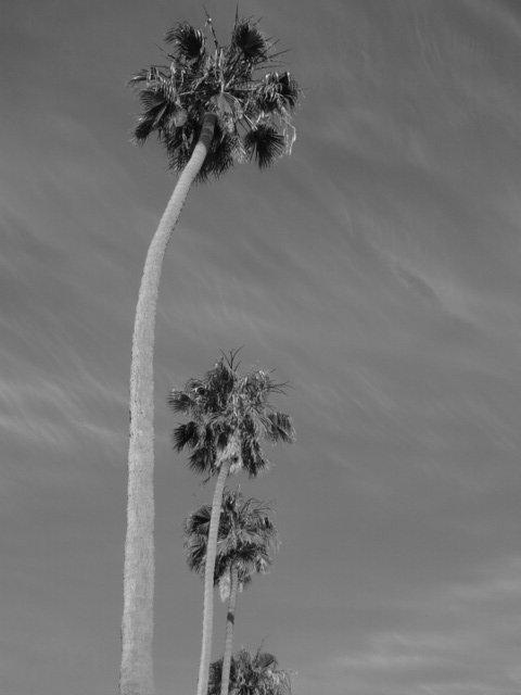 Palm tree lined street in Ocean Beach.