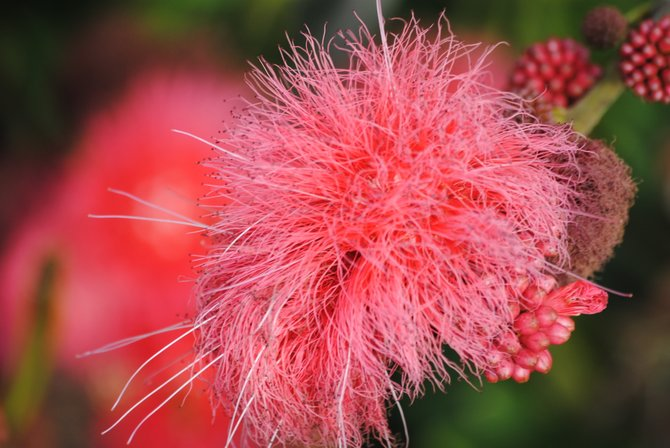Pink fuzzball of delight