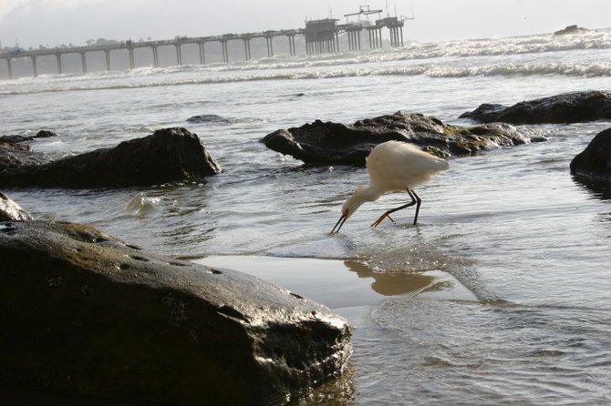 Bird in the shore of Black Beach.
