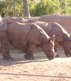 Two rhinos posing at the San Diego Zoo.