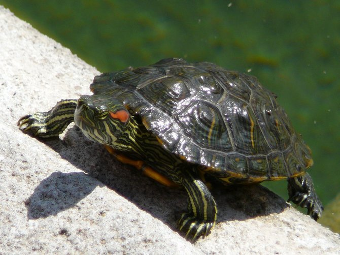 Sunbathing turtle at the Lily Pond at Balboa Park.
