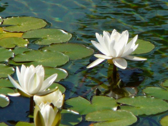 Beautiful Lilies at Balboa Park.